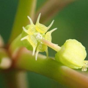 Photographie n°2262936 du taxon Euphorbia peplus L. [1753]