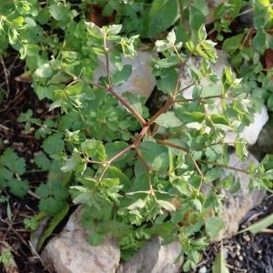 Photographie n°2262937 du taxon Euphorbia peplus L. [1753]