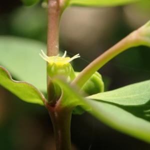 Photographie n°2262940 du taxon Euphorbia peplus L. [1753]