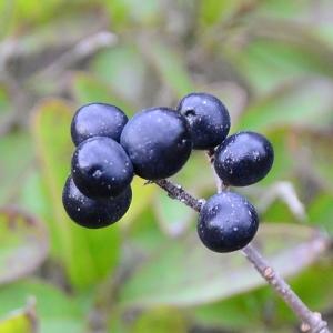 Photographie n°2262994 du taxon Ligustrum vulgare L. [1753]