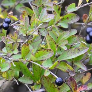 Photographie n°2262995 du taxon Ligustrum vulgare L. [1753]