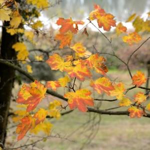 Photographie n°2262999 du taxon Acer pseudoplatanus L.