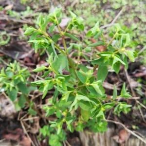 Photographie n°2263060 du taxon Euphorbia peplus L. [1753]
