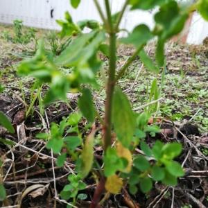 Photographie n°2263062 du taxon Euphorbia peplus L. [1753]