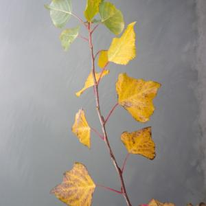 Photographie n°2263140 du taxon Populus nigra L.