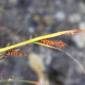 Photographie n°2263182 du taxon Carex flacca Schreb. [1771]