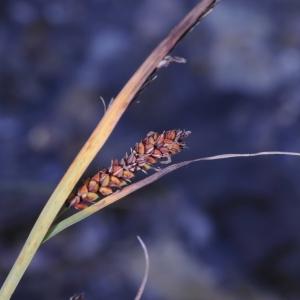 Photographie n°2263183 du taxon Carex flacca Schreb. [1771]