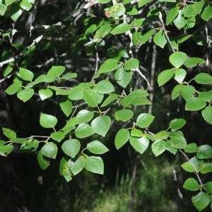Photographie n°2263281 du taxon Betula pubescens Ehrh. [1791]
