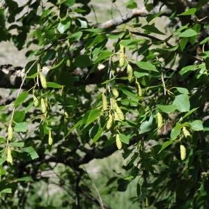 Photographie n°2263282 du taxon Betula pubescens Ehrh. [1791]