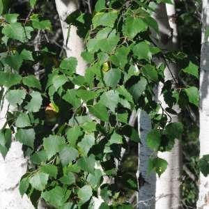 Photographie n°2263283 du taxon Betula pubescens Ehrh. [1791]