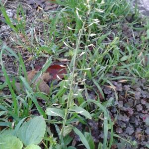Photographie n°2263310 du taxon Capsella bursa-pastoris (L.) Medik.