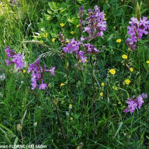 - Viscaria vulgaris subsp. vulgaris