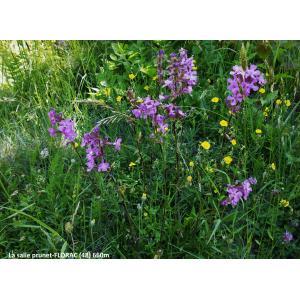 Viscaria vulgaris Bernh. subsp. vulgaris (Silène gluant)