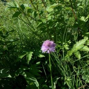 Photographie n°2263534 du taxon Allium schoenoprasum L.