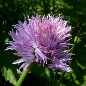 Photographie n°2263537 du taxon Allium schoenoprasum L.