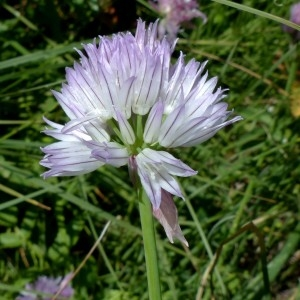 Photographie n°2263538 du taxon Allium schoenoprasum L.