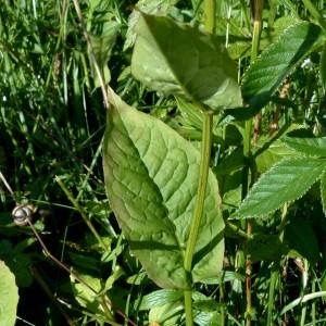 Photographie n°2263623 du taxon Crepis paludosa (L.) Moench [1794]