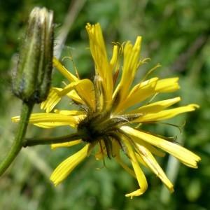 Photographie n°2263627 du taxon Crepis paludosa (L.) Moench [1794]