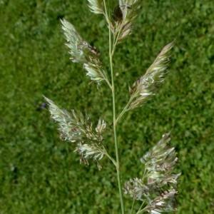 Photographie n°2263746 du taxon Phalaris arundinacea L. [1753]