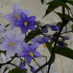 Photographie n°2264082 du taxon Solanum laxum Spreng.