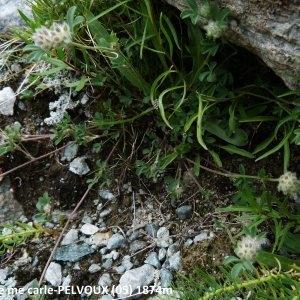 - Trifolium saxatile All. [1773]