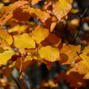 Photographie n°2264678 du taxon Fagus sylvatica L.