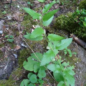 Photographie n°2264727 du taxon Melittis melissophyllum L. [1753]