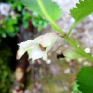 Photographie n°2264731 du taxon Melittis melissophyllum L. [1753]