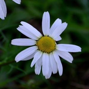 Photographie n°2264793 du taxon Tripleurospermum inodorum (L.) Sch.Bip. [1844]