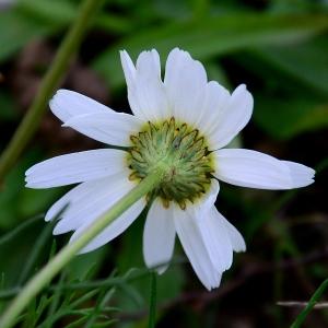 Photographie n°2264794 du taxon Tripleurospermum inodorum (L.) Sch.Bip. [1844]