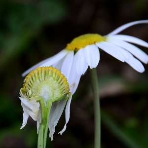 Photographie n°2264795 du taxon Tripleurospermum inodorum (L.) Sch.Bip. [1844]