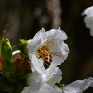 Photographie n°2265022 du taxon Prunus avium (L.) L. [1755]