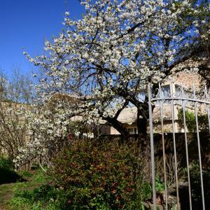 Photographie n°2265024 du taxon Prunus avium (L.) L. [1755]