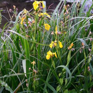 Photographie n°2265043 du taxon Iris pseudacorus L. [1753]