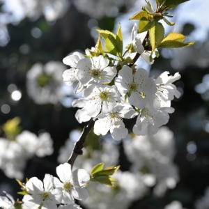 Photographie n°2265108 du taxon Prunus avium (L.) L. [1755]