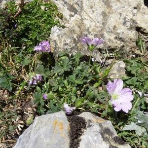Photographie n°2265139 du taxon Geranium cinereum Cav. [1787]