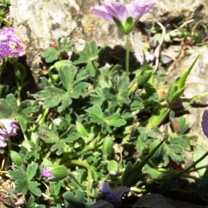 Photographie n°2265143 du taxon Geranium cinereum Cav. [1787]