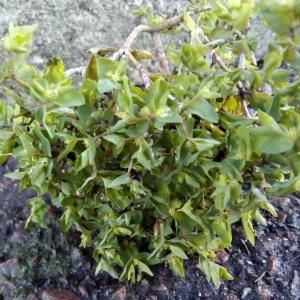 Photographie n°2265180 du taxon Euphorbe des jardins