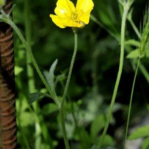 Photographie n°2265182 du taxon Ranunculus bulbosus L. [1753]