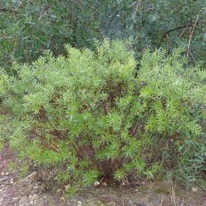 Photographie n°2265415 du taxon Daphne gnidium L. [1753]