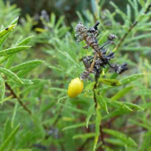 Photographie n°2265416 du taxon Daphne gnidium L. [1753]