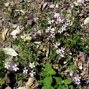 Photographie n°2265418 du taxon Saponaria ocymoides L.