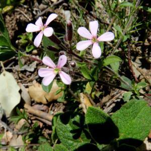 Photographie n°2265419 du taxon Saponaria ocymoides L.