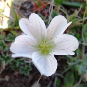 Photographie n°2265513 du taxon Geranium cinereum Cav. [1787]
