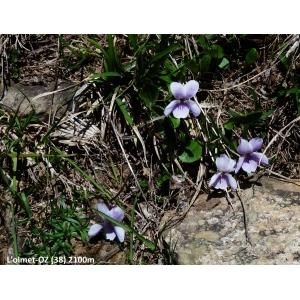 Viola thomasiana E.P.Perrier & Songeon (Violette de Thomas)