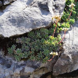 Photographie n°2265882 du taxon Saxifraga paniculata Mill.