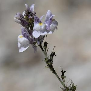 Photographie n°2265974 du taxon Linaria repens (L.) Mill. [1768]