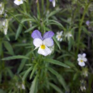 Photographie n°2266059 du taxon Viola arvensis Murray [1770]