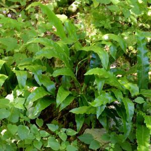 Photographie n°2266314 du taxon Asplenium scolopendrium L. [1753]
