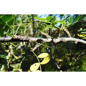 Caragana arborescens Lam. (Arbre aux pois)